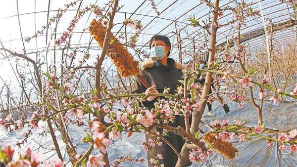 寒冬时节桃花开