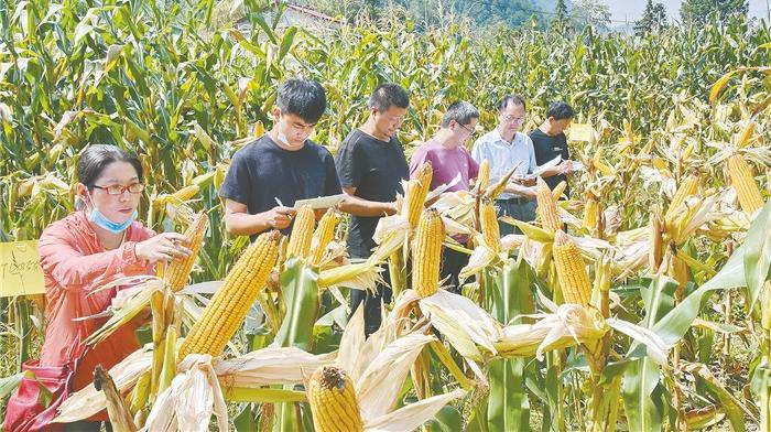 玉米新品种助农增产增收